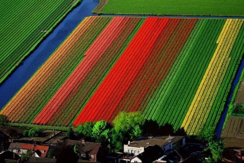 Поля тюльпанов вблизи Лиссе, Нидерланды
