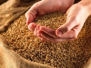 На мировых рынках зафиксирован резкий рост цен на пшеницу