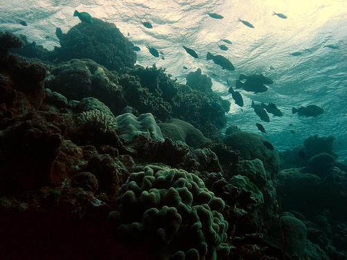 Коралловые рифы превращаются в чёрную массу